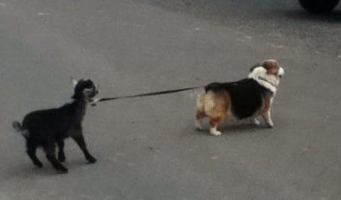 corgi pulling a goat!