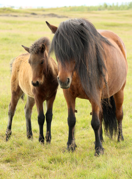 Sweet mother horse with her foal, ina fi