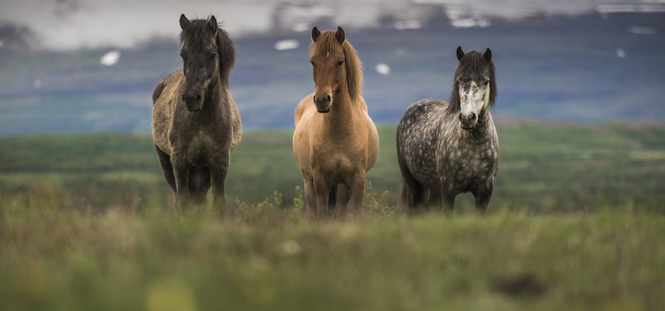 ICLANDIC HORSE.jpg