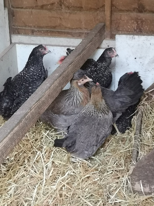 Pol hens-cream leg bars and cuckoo marans