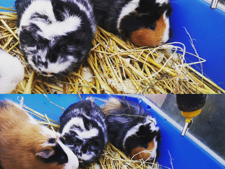 Two new guinea pigs