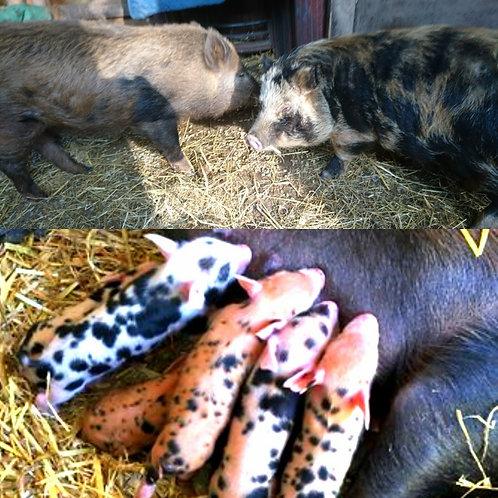 Mini-Vietnamese Potbelly Boar for Stud (Kevin)