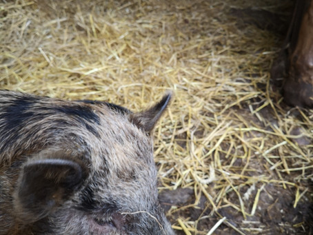 Mini Vietnamese Boar available for stud