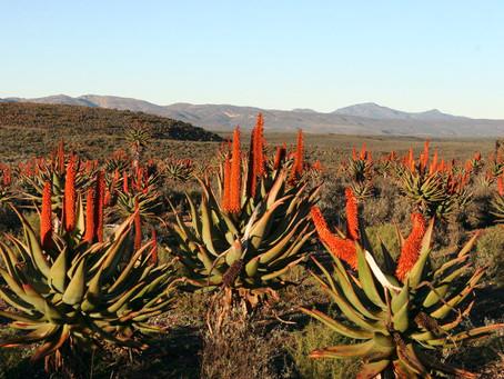 Unterschätzte Aloe Ferox: Wirkung für mehr Wohlgefühl
