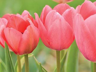 tulips_20304cnp.jpg
