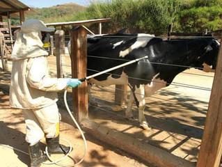 Ducha veterinária é eficaz no controle de carrapatos em bovinos