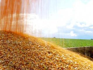 Tempo seco favorece avanço da colheita da 2ª safra de milho, diz AgRural
