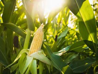 USDA prevê área plantada menor de soja e trigo em 2019; milho deve avançar nos EUA
