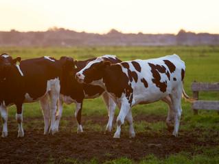 Bem-estar do gado influencia a qualidade da carne