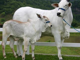Dieta adequada é segredo de lucros no confinamento de gado