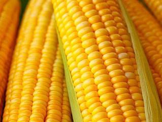 Milho, uma nova história de sucesso no agronegócio brasileiro