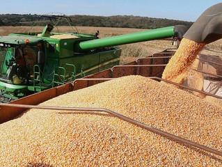Colheita do milho já supera 68% da área e confirma safra recorde em MS