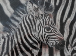 Zebra_edited_edited