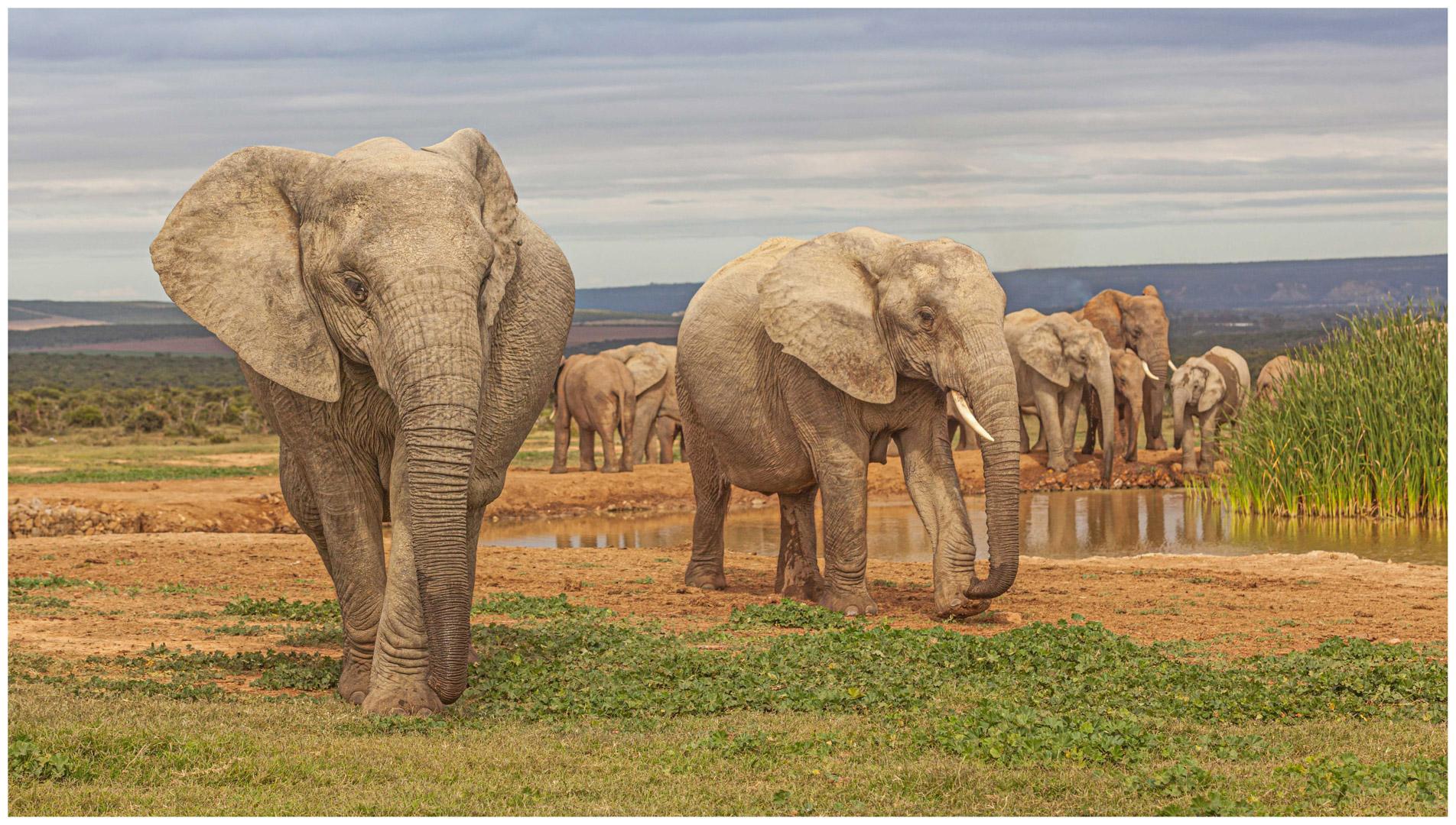 DO_Addo Elephant Herd_David Steele