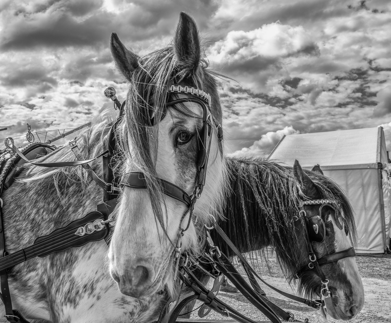 DS_Draught horses_Carolyn Cross