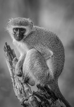 Velvet-Monkey