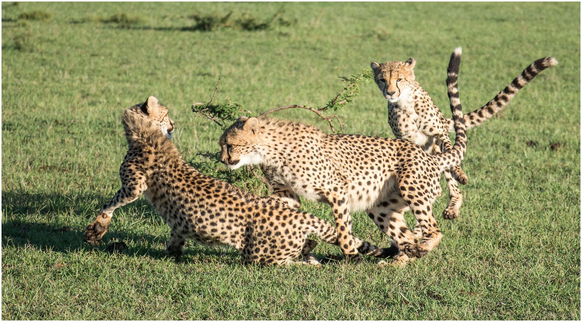 DO_Cheetahs at play_Gillian Robertson