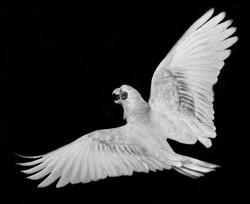 Paul-Parrot