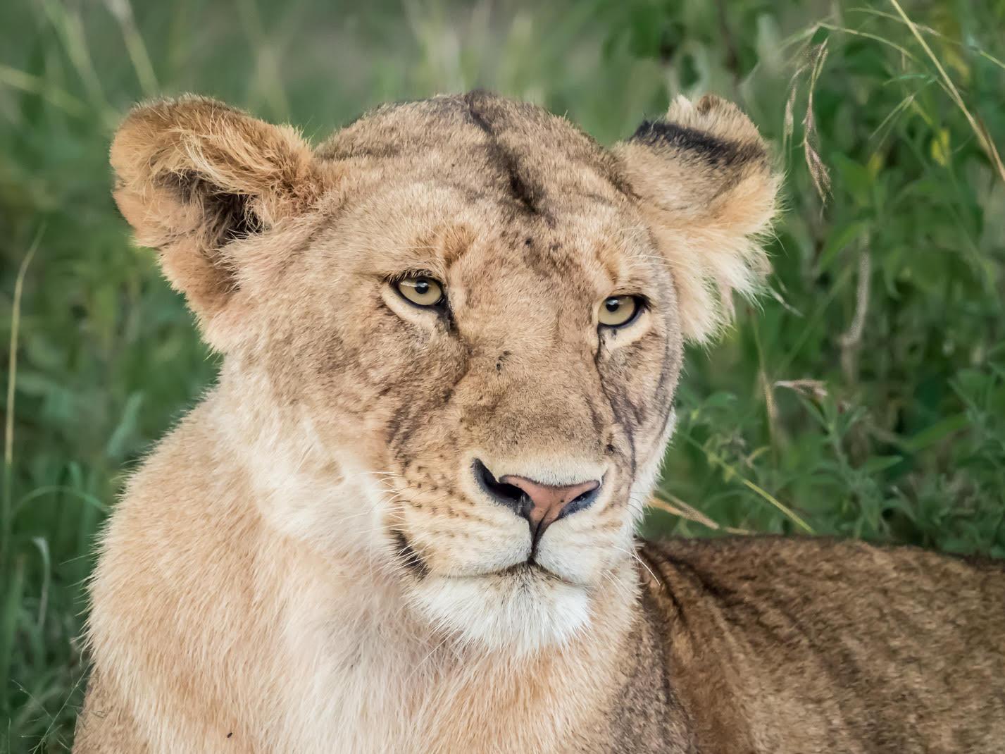 Thoughtful Lioness - Ian Robertson
