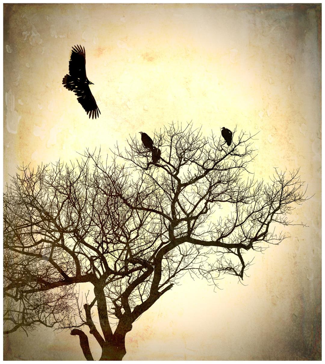 DS_Hooded Vultures_David Steele