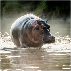 Hippo in the Mist - Ian Robertso