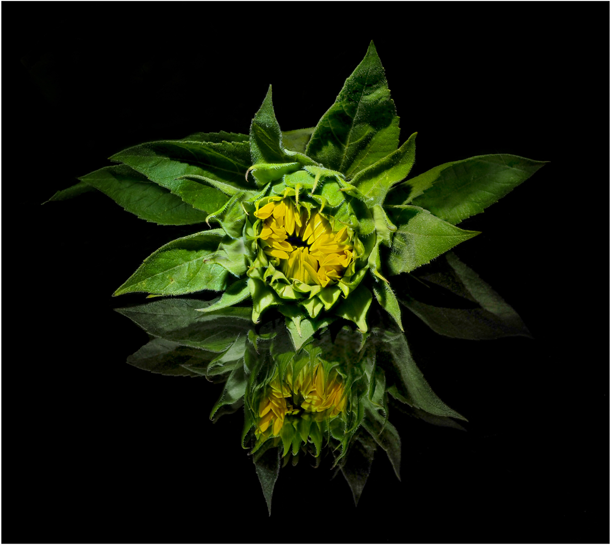 Sunflower Reflection_Paul Anderson