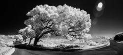 Greg_Seaton_White_Tree