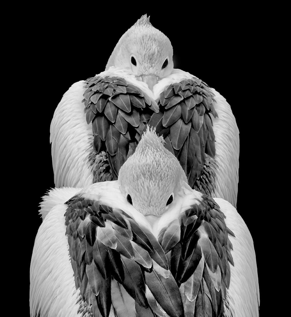 Pelicans Camera EMail