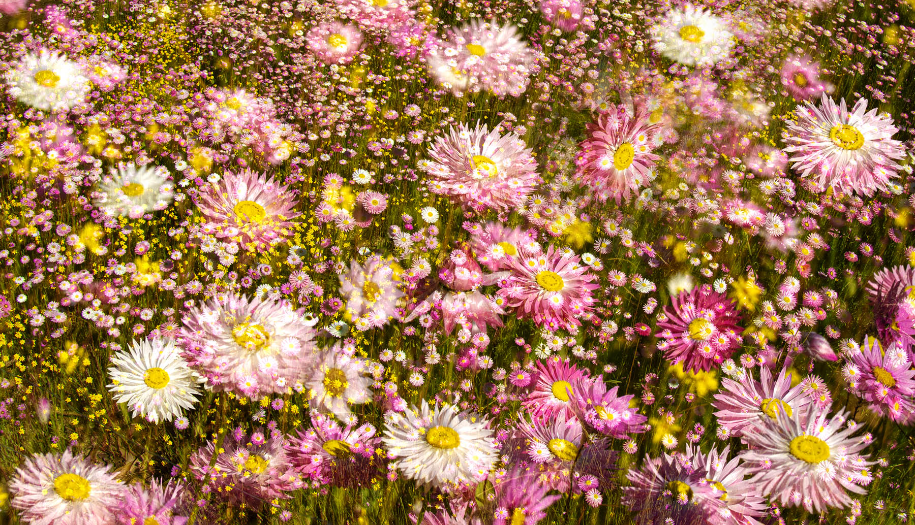 DS_Multitude Of Daisies_Paul Anderson