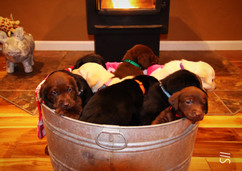 Lab Puppies
