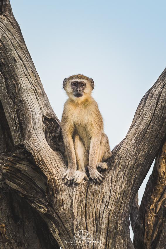 Vervet Monkey - Namibia