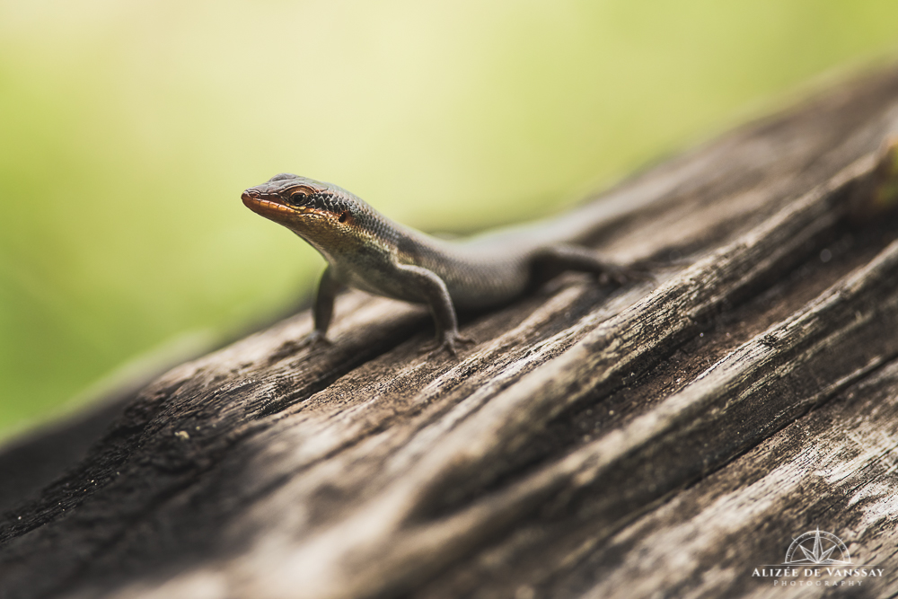 Lizard - Namibia