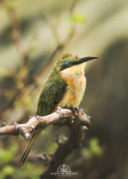 Little Bee-eater - Namibia