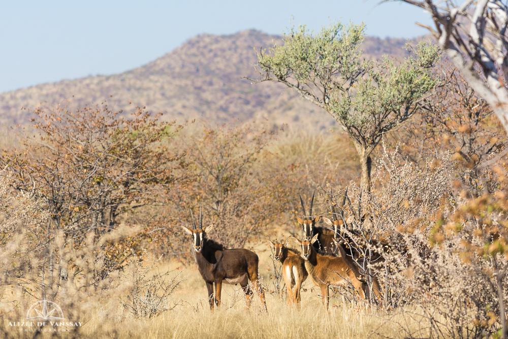Sable Antelopes - Namibia