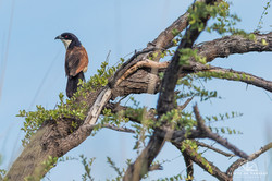 Burchell's Coucal - Namibia