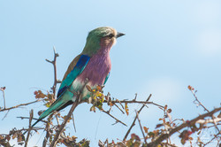 Lilac-breasted Roller - Namibia
