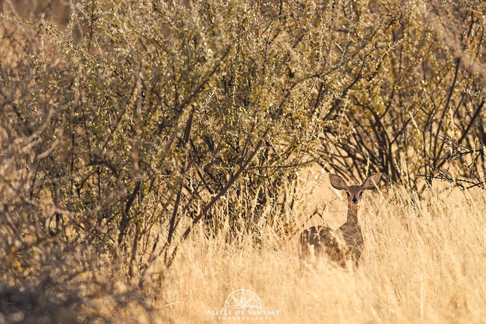 Steenbok - Namibia