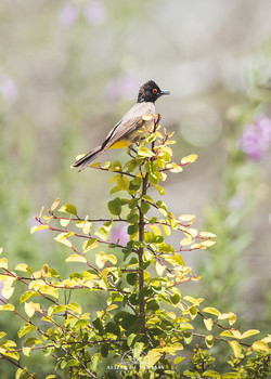 African Red-eyed Bulbul - Namibia