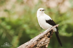 Southern Pied Babbler - Namibia