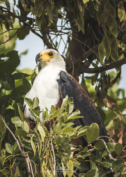 African Fish Eagle - Namibia
