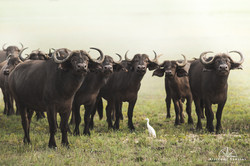 Bufalos and a Cattle Egret - Namibia