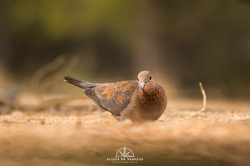 Laughing Dove - Namibia