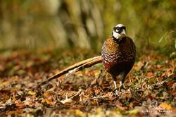 Reeves's pheasant - France