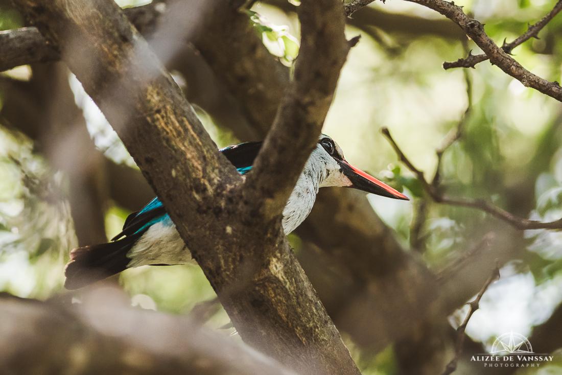 Woodland Kingfisher - Namibia