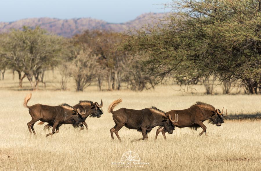 Black Wildebeest - Namibia