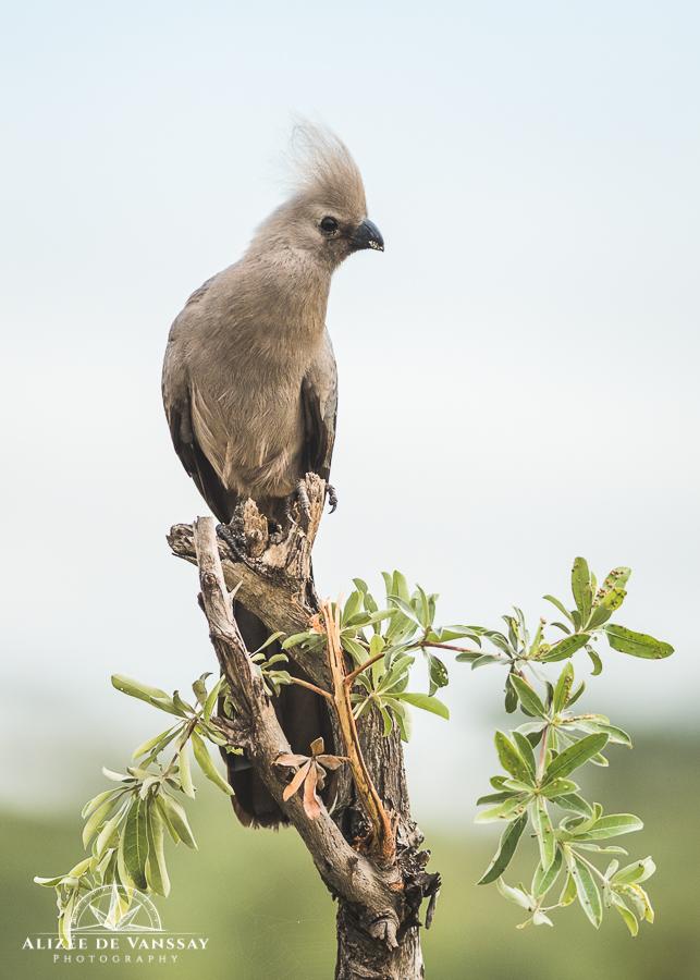Grey Lourie - Namibia