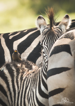 Zebra with a Yellow-billed Oxpecker - Namibia