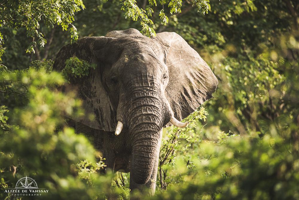 Elephant - Namibia
