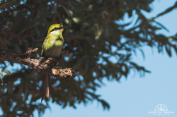 Swallow-tailed Bee-eater - Namibia