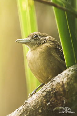 Black-crowned Antshrike